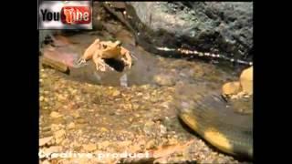getlinkyoutube.com-أخطر أنواع الثعابين في العالم ملك الكوبرا