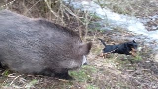getlinkyoutube.com-When wild boars attack, all is running