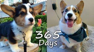 getlinkyoutube.com-Puppyhood in 365 DAYS: A CORGI PUPPY GROWS UP!