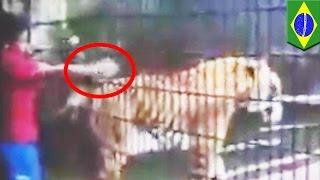 Tygrys odgryzł rękę chłopca w brazylijskim zoo.