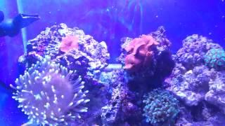 getlinkyoutube.com-10 gallon desktop reef tank