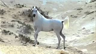 getlinkyoutube.com-من اجمل الخيل العربيه الاصيله  2