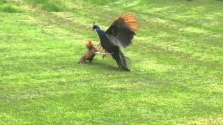 getlinkyoutube.com-Battle of the birds: Peacock Vs Rooster