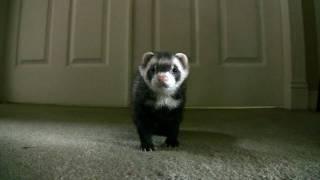 getlinkyoutube.com-Ferrets Playing