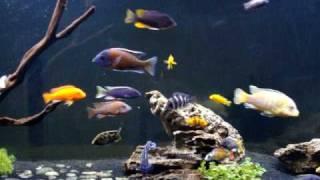 getlinkyoutube.com-African Cichlid Monster Fish Tank!