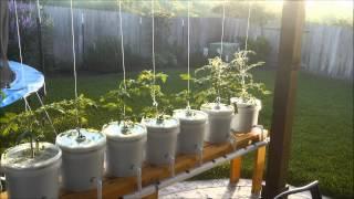 getlinkyoutube.com-Trying out Hydroponic Lettuce, Dutch Bucket Tomatoes, Kratky Method