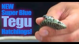 getlinkyoutube.com-NEW Super Blue Tegu Hatchlings!