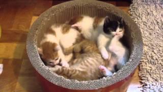 getlinkyoutube.com-赤ちゃんねこ鍋 NEKONABE Kittens