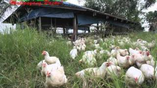 organic/natural farming: sunshine free-range/pastured chicken