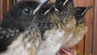 getlinkyoutube.com-Cara sukses breeding peternak penangkaran burung murai batu