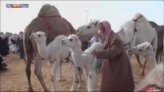 getlinkyoutube.com-الناقة والجمل.. فخر العرب