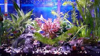 getlinkyoutube.com-【カージナルテトラ他 熱帯魚水槽の紹介】~過密飼育の餌やり風景