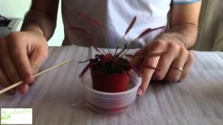 getlinkyoutube.com-Planta carnívora drosera: cuidados básicos