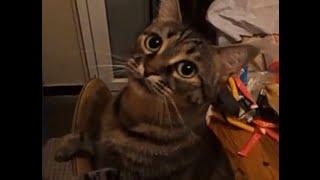 "getlinkyoutube.com-chat qui dit merci ""Funny Cat says thank you"""