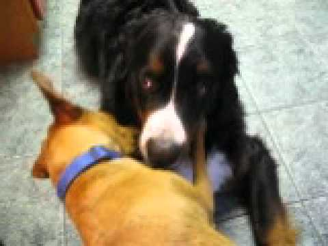 Bernie the Bernese Mountain Dog - Vista, CA - gnaws on, and is loved by, his tiny pal Carson