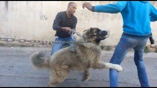 getlinkyoutube.com-الكلب  الراعي القوقازي لوكو مشهور بقتل الذئاب مع جمال العمواسي