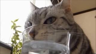 getlinkyoutube.com-徹底比較!1歳の頃のピュアで初々しいあめちゃんが…5歳になって貫禄がでたっ! -Cat's drinking water Now & Then