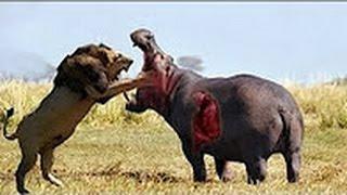 カバライオンは、血みどろの戦いを殺されました