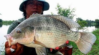getlinkyoutube.com-Bali Trip: Tilapia Farming  (Gopro Hero3 HD)