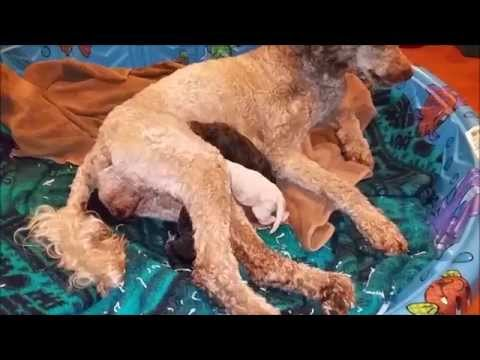 Whelping Video - Live Birth #4 - GRAPHIC CONTENT WARNING