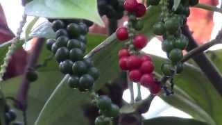 getlinkyoutube.com-How to Grow Black Pepper (Piper nigrum)