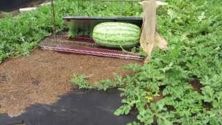 getlinkyoutube.com-How to grow giant watermelons part 1 (6-30-13)