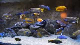 World's Greatest relaxing African Cichlid Aquarium