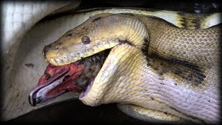 getlinkyoutube.com-Python Eats Duck 01 - Snake Kills Bird
