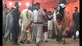 getlinkyoutube.com-karachi cow mandi vip tent cow