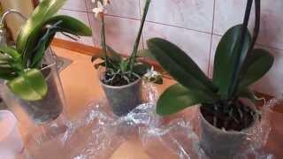 getlinkyoutube.com-Пересаживать орхидею после покупки? Рекомендации.