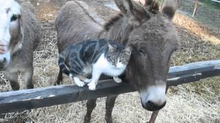 Cat cuddles with donkey - Extremely cute! / Gato buscando caricias a una burra - Muy lindo! width=