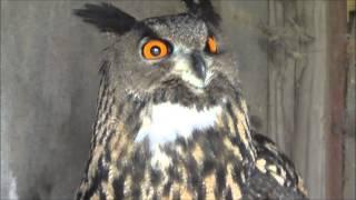 getlinkyoutube.com-Owl hooting