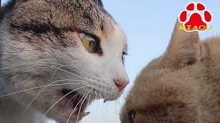 getlinkyoutube.com-猫の喧嘩 顔が近すぎる威嚇編 face is too scary! Cats Hiss
