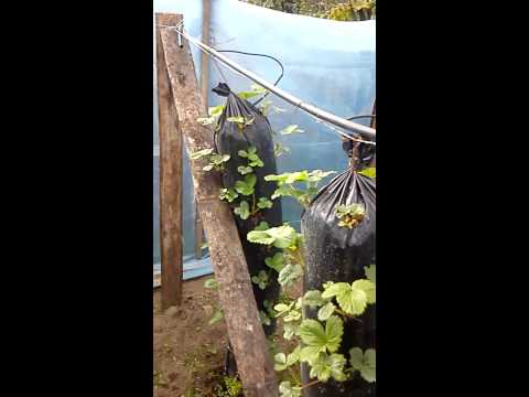 Hidroponia vertical fresas