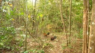 getlinkyoutube.com-ต่อไก่ป่า ไก่หนุ่มงานแรก