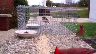 getlinkyoutube.com-B. Biddle Sparrow Trap.wmv