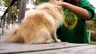 getlinkyoutube.com-How to properly brush your Pomeranian