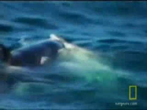 White Shark Vs Orcakiller Whale Abc News2.flv