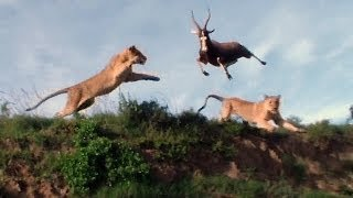 getlinkyoutube.com-Leaping Lion Catches Antelope In Mid-Air Attack