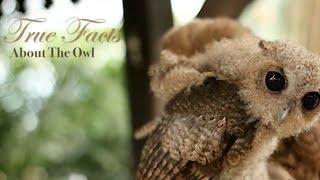 getlinkyoutube.com-True Facts About The Owl