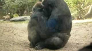 getlinkyoutube.com-Gorilla Sex