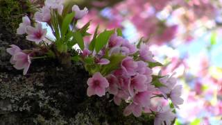 getlinkyoutube.com-Beautiful Nature Spring 1080p HD