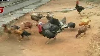 getlinkyoutube.com-Wild Turkey Poultry Farming