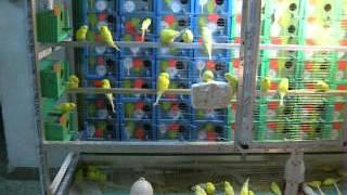 getlinkyoutube.com-مملكة جوزيف بيتر للطيور الحب الهولندي
