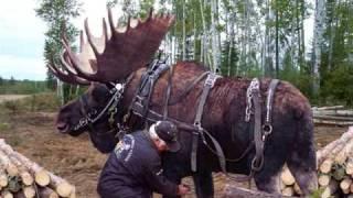 getlinkyoutube.com-Moose Hunting