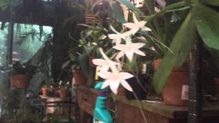 getlinkyoutube.com-GreenhoMAY  2015 GREENHOUSE WALK...BLOOMING ORCHID TOUR...DENDROBIUMS..ANGRECOIDS...PHALAENOPSIS