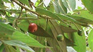 getlinkyoutube.com-Tanaman Pohon Talok atau Kersen, Muntingia Calabura