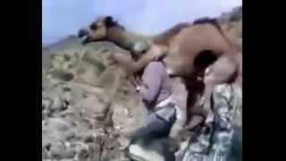 getlinkyoutube.com-طريقة تهريب الابل عبر الحدود اليمنية الى المملكة العربية السعودية