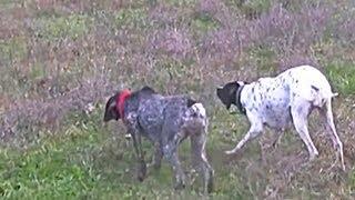 getlinkyoutube.com-Bildircin Avi 2 Mustafa Kerimoglu, Orhan Dernek, Ozan Taylan 27 Ekim 2010 Quail Hunting
