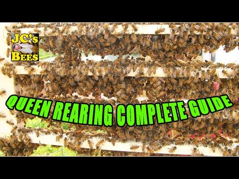 Grafting Queen Honey Bees (Queen Rearing)